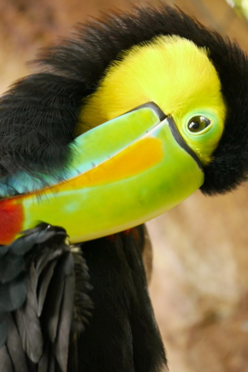 Toucan, close-up