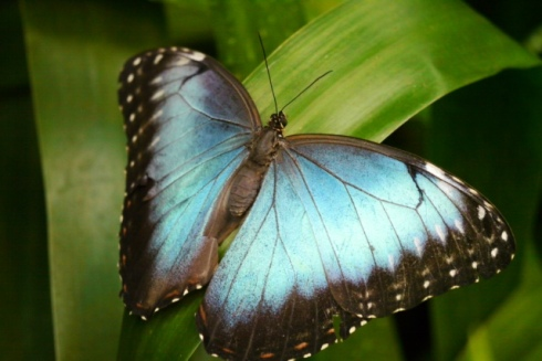 Morpho, close-up