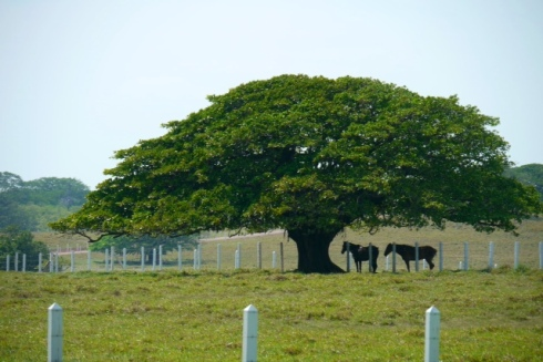 Guanacaste tree and horses