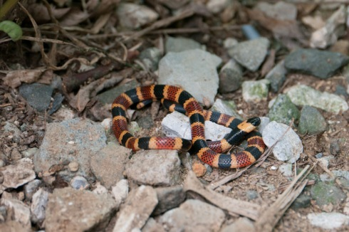 Young coral snake coiled on the ground