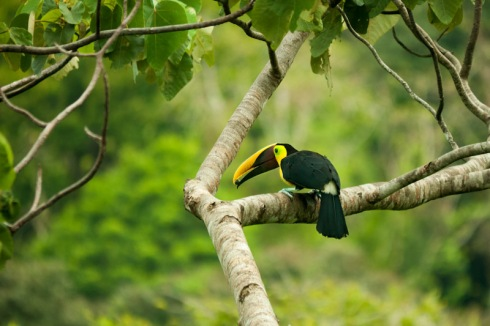 Swainson toucan