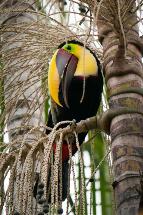 Dandy Swainson toucan