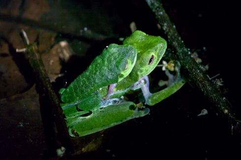 Gaudy leaf frogs at night
