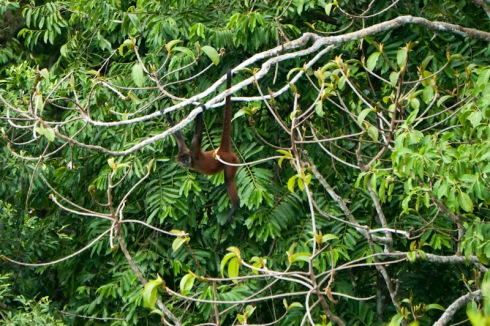 Spider monkey dangling from a branch