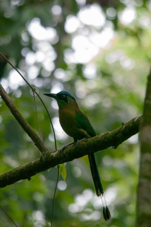 Blue-crowned mot-mot