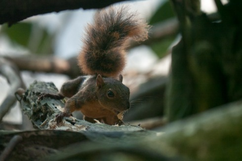 Squirrel, close-up