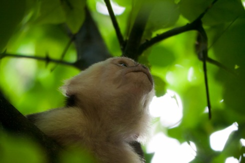 Capuchin monkey closer, lifting his face