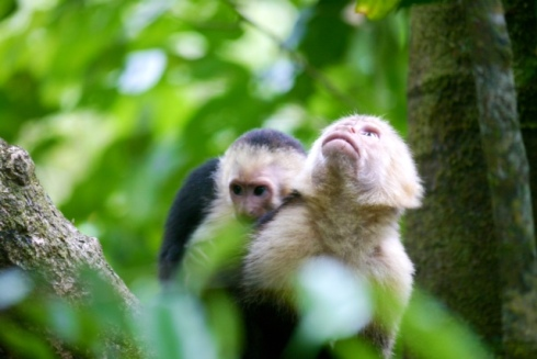 Capuchin monkeys, mother & young