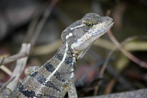 Female Jesus Christ lizard