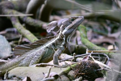 Male Jesus Christ lizard