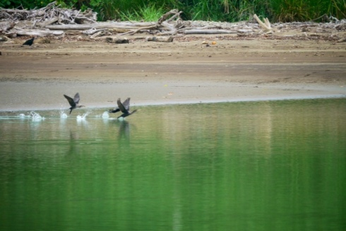 Cormorants taking off