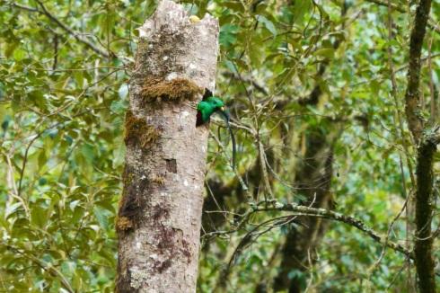 Male quetzal head
