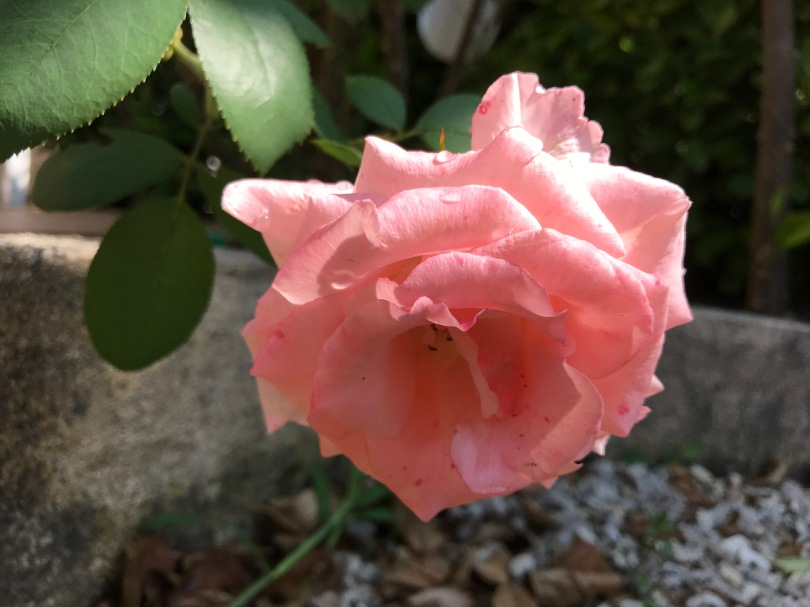 Rosier en fleur.