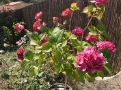 Hortensia et rosier en fleur.
