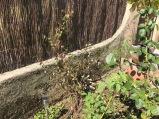 Chèvrefeuille sauvage que j'ai déraciné vers plan Sarrin et replanté dans le jardin et qui végète un peu.